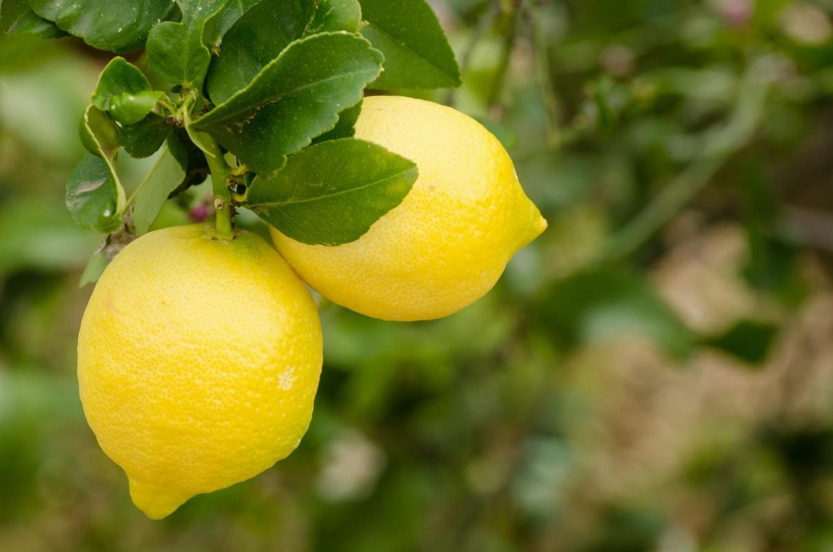Limoni Di Sicilia Vendita Agrumi Online Agrumi Cicardo